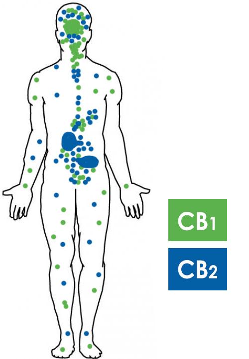 Cannabinoid System
