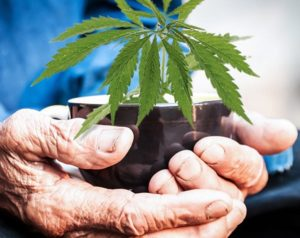 marijuana and elderly