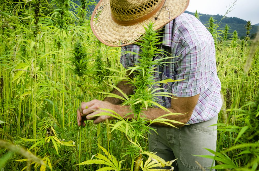 cannabis farmer outside