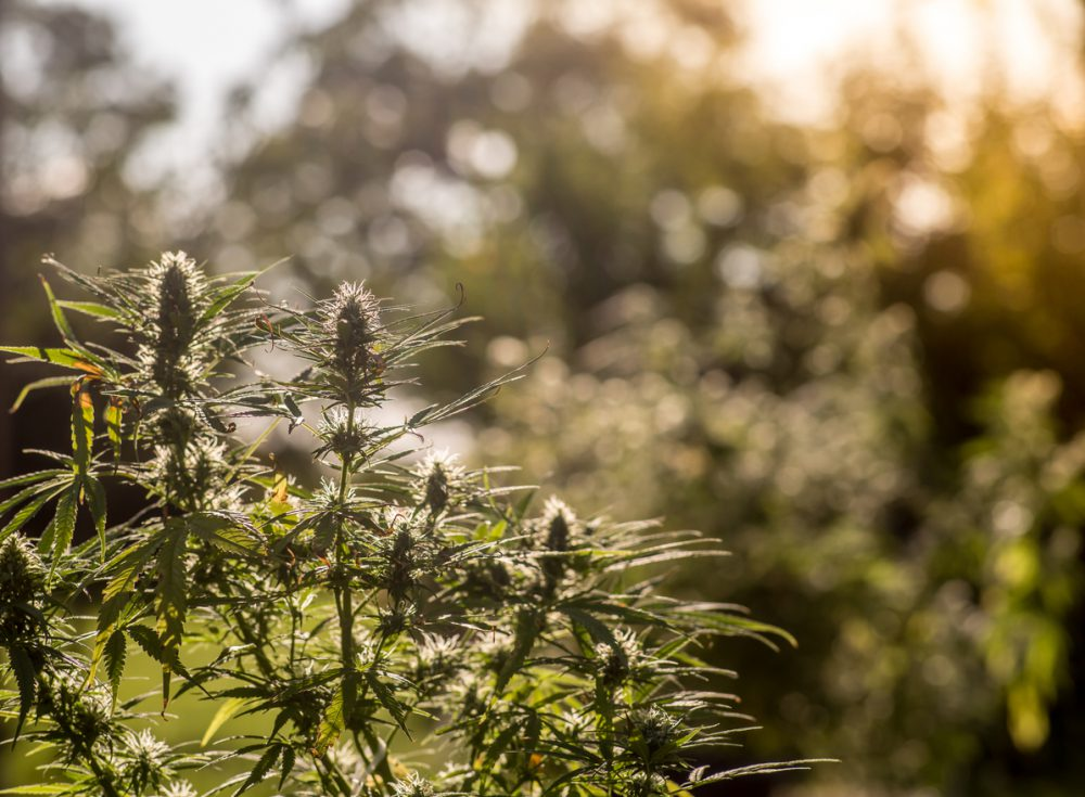 A medical marijuana plant in a garden at sunset